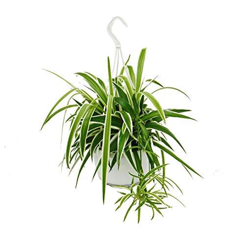 Exotenherz - Chlorophytum, Grünlilie, Ampelpflanze 15cm Topf