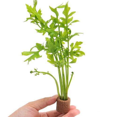 (水草)ライフマルチ(茶) ウォータースプライト(水上葉)(無農薬)(1個) 北海道航空便要保温