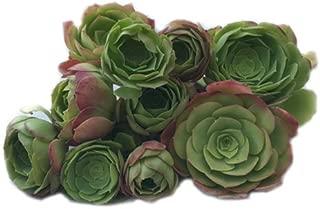 Succulent Plants, Irish Rose (Aeonium Arboreum) 8 Cuttings