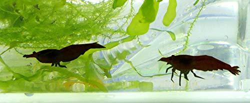 Evil Wear Aquarium-Garnelen dunkel braun-schwarz 2Stk mit Pflanze und Zubehör