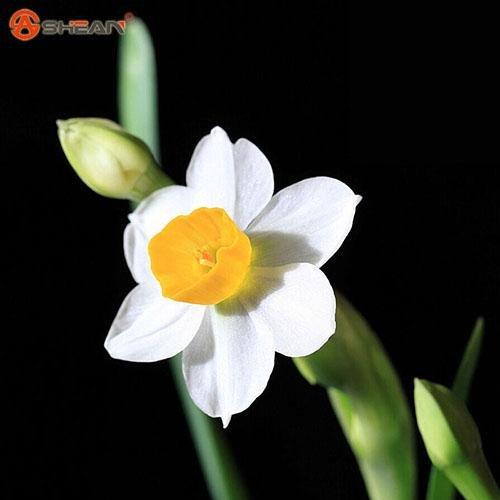 Bonsai graines de plantes aquatiques pétales doubles Jonquilles roses semences pour jardin 100 particules / lot