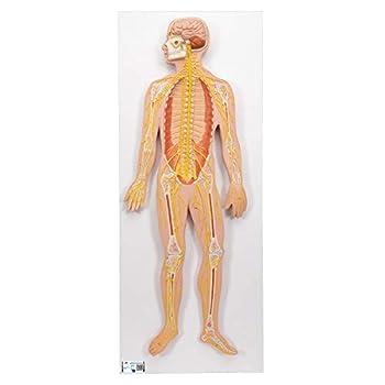 Best nervous system model Reviews