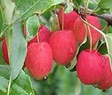 Miniapfel Gruschowka Omskaj,Kitaika,Apfelbaum Sibirische Renette,Грушовка Омсk
