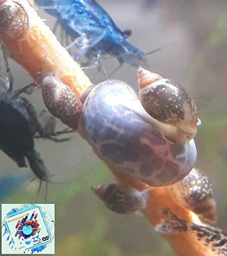 Topbilliger Tiere Blasenschnecken - Futterschnecken für Kugelfische 10x
