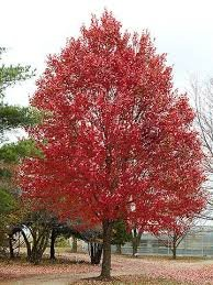 (Pack of 2 Plants) 1 Gallon RED Maple Trees- Beautiful Red Foliage, Features for Every Season. Fast-Growing. Bare-Root