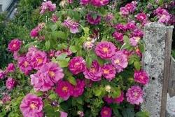Rosa gallica officinalis, Historische Apothekerrose in A-Qualität Wurzelware