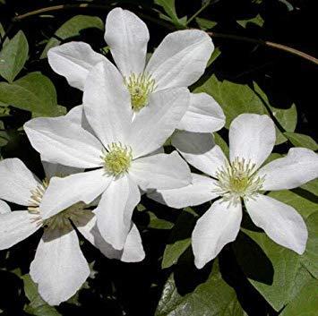 Clematis-Blumen-Mischung, Clematis Pflanze Bonsais, Nicht die Clematis Verwurzelt, 30pcs / Tasche: 1