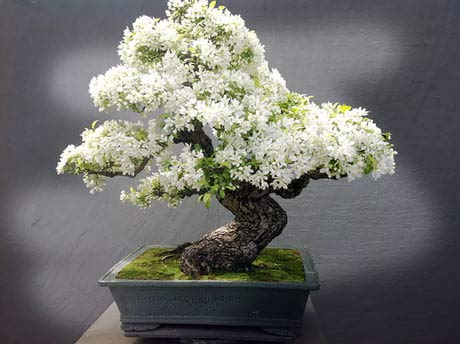 Bonsai Tree Seeds, White Lilac | 20+ Seeds | Highly Prized for Bonsai, Fragrant White Flowers
