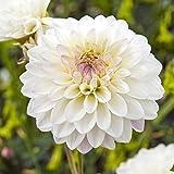 DAHLIE - Dahlia Wittem Weiß - Dekorative, Pack: 12 Knollen/Zwiebeln (Größe XL), BULBi Blumenzwiebeln Spezialist, Top Qualität, Kreieren Sie einen Meer von Dahlienblumen, gut geeignet zum Schnitt.