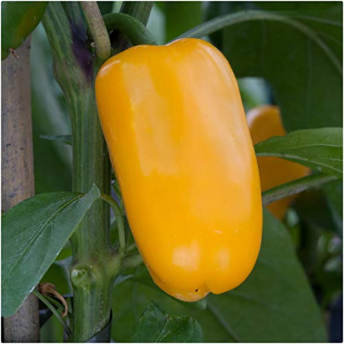 Sweet Pepper F1 'Snack Yellow' x 3 Plug Plants for Potting on by Growtanical