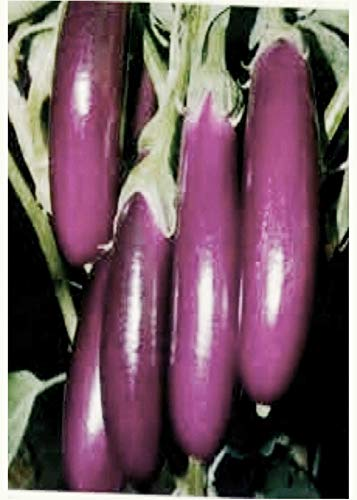 Portal Cool Aubergine Violet Long, de 50 F1 graines