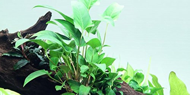 5 x Various Species of Anubias  Live aquarium plants
