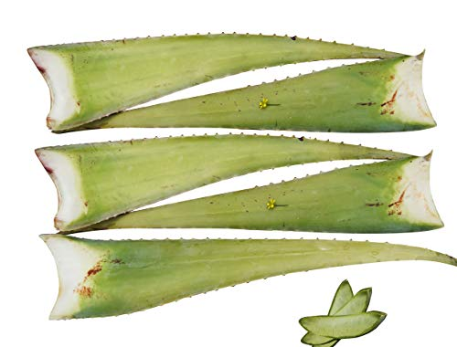 5 x Bestes Bio Aloe Vera Barbadensis Blätter, Health for All