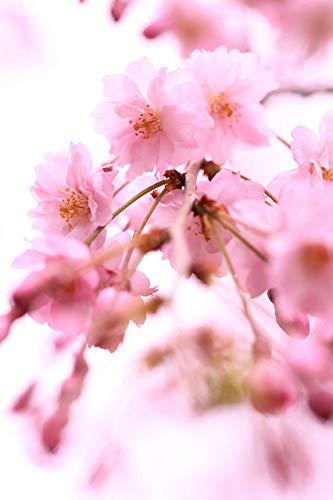 【葉姿】八重咲きしだれ桜 プラスチック鉢 自宅でお花見 シダレ桜 プレゼント ギフトにもぴったり 桜盆栽※陶器鉢・化粧砂・苔等は付属しません