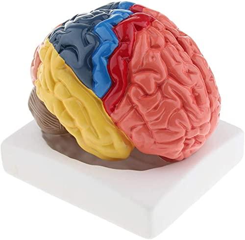 Cérebro Humano Anatômico Modelo Escola Anatomia Educacional Cérebro Humano
