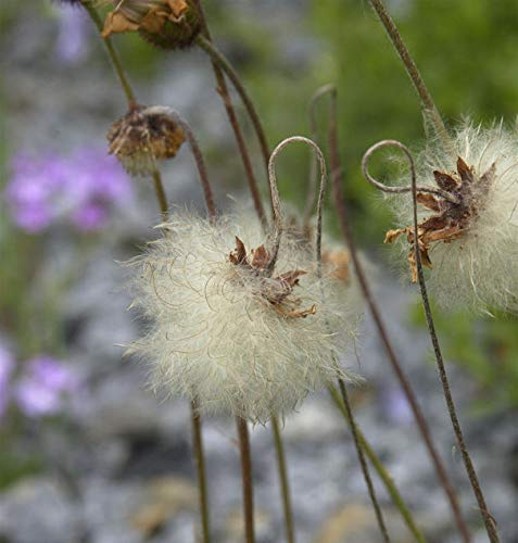 Alaska Silberwurz - Dryas drummondii