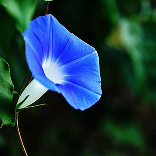 RAIKE Edel-Trichterwinde blau Prunkwinde 500 Samen, Ipomea Samen-großen, seidigen Blüten