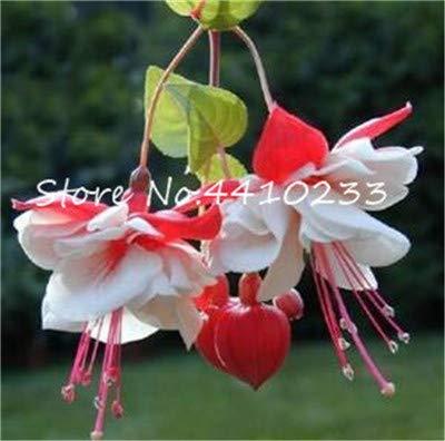 Bloom Green Co. 100 Stück Doppel-Blütenblätter Fuchsia Bonsai Bell-Blumen-Laterne Begonia Topfblumen hängende Pflanzen Semillas De Flores Diy Home Garten: m