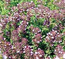 Il vous suffit de graines fines herbes???Thym Violet Intrusion???serpolet???700?graines