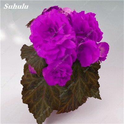 Nouveau! 150 Pcs Begonia Graines Bonsai Graines de fleurs Bonsai Maison & Jardin Flor Plantes en pot Purifier l'Office Air Bureau Fleurs 10