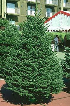 HONIC Samen-Paket: Baumsamen Edel-Tanne Edel Tannenbaum - 50 Samen