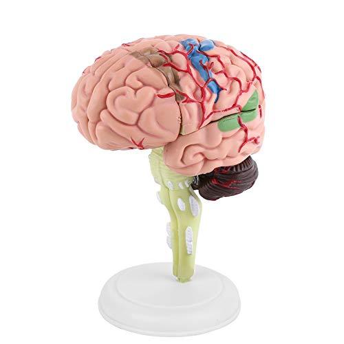 Yosoo Health Gear 1 Stück 31 Blöcke, zerlegt, medizinisches Gehirnmodell, 4D-menschliches Gehirn, anatomisches Modell zum Verständnis der Zusammensetzung und Struktur des menschlichen Gehirns.