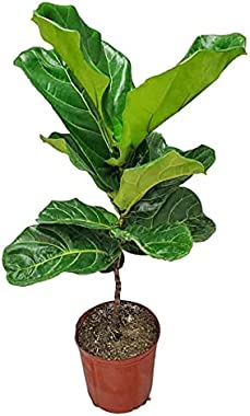 """Ficus Lyrata Fiddle Leaf Fig Tree - 3 Gallon - Tropical Plants of Florida - Overall Height 36"""" to 40"""" (Plant Only)"""