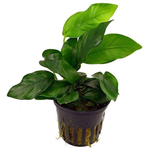 5 Töpfe Anubia Nana/Zwergspeerblatt - barschfeste Wasserpflanzen