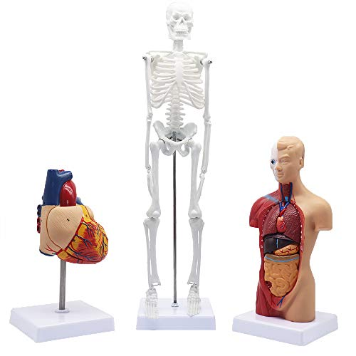 Denique Human Anatomy Models Bundle Set of 3, Human Torso, Skeleton, and Heart for Anatomy and Physiology Teaching 3D Model Learning Tool Kits for Medical Teaching School