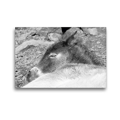 CALVENDO Premium Textil-Leinwand 45 x 30 cm Quer-Format Schlafendes Exmoor Fohlen, Leinwanddruck von Meike Bölts