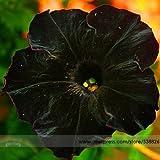 Rare Super Black Cat Petunia Flower Seeds, Professional Pack, 100 Seeds / Pack, New Annual Bonsai Petunia #NF660