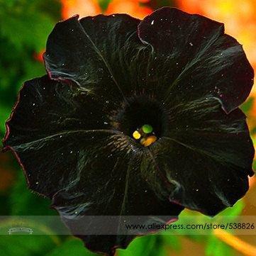 Raras Semillas de Super Cat Negro flor de la petunia, Paquete Profesional, 100 semillas / Paquete, Nueva Anual Bonsai Petunia # NF660