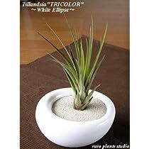 エアープランツチランジア・トリコロール / ホワイトイリプス / AirPlants Tillandsia・Tricolor / White Ellipse / インテリアグリーン / ミニ観葉植物