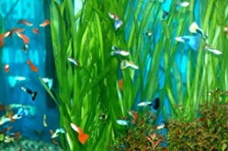 Guppies Guppy Fancy Fantail Tropical Fish 12 Fish Assorted Colors