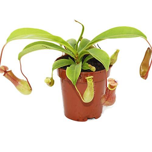 Exotenherz - Kannenpflanze - Nepenthes - 9cm Topf