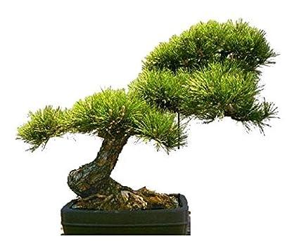 Foto di Tropica - Bonsai - Pino dorato (Pinus ponderosa) - 20-semi