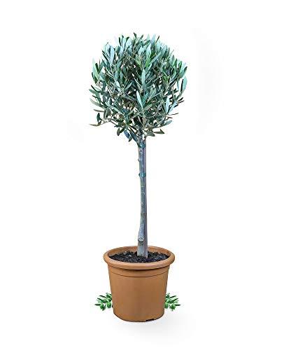 Meine Orangerie Olivenbaum Piccolo - echtes Olivenbäumchen - Olea Europaea - Olive Tree - Fruchtreifes Stämmchen in Gärtnerqualität…