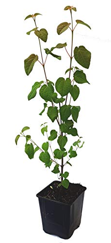 Seedeo® Lebkuchenbaum (Cercidiphyllum japonicum) Pflanze ca. 30 cm - 40 cm