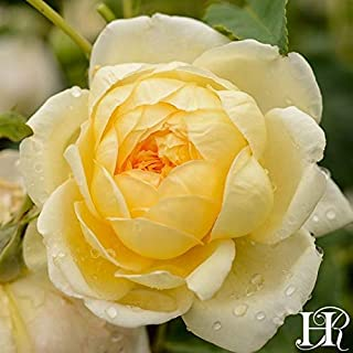 Own-Root One Gallon St. Alban David Austin Rose by Heirloom Roses
