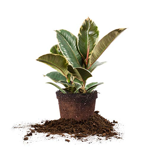 Perfect Plants Variegated Rubber Plant | Ficus Elastica 'Tineke' | Live Indoor...