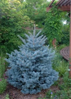 Montgomery Dwarf Colorado Blue Spruce - Grows Only 4 feet Tall - 1 Year Live Plant