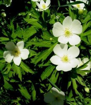加拿大银莲花250粒种子