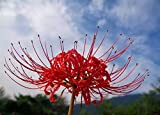 Bulbes de lis araignée vivace/bulbes de Lycoris - bulbes à planter - plantes à fleurs - bulbes de plantes en pot/bulbes de fleurs de décoration de bonsaï. (5, rouge)