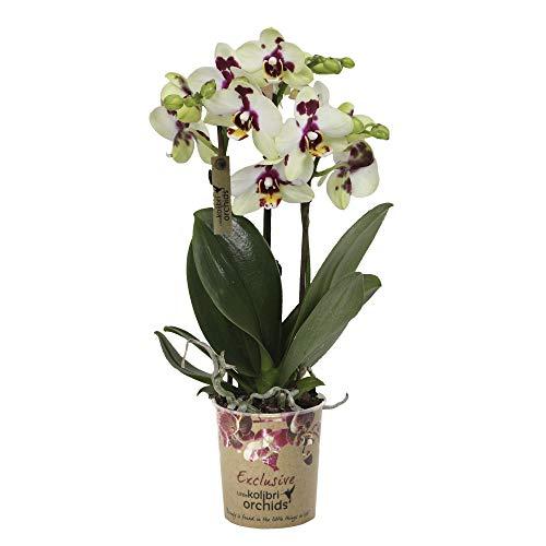 "Phalaenopsis ""Spotty"" | Schmetterlingsorchidee | Lila-weiße Blüte | Höhe 35-40 cm | Topf-Ø 9 cm"