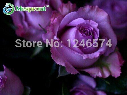 Livraison gratuite 80PCS asy à des plantes pour le jardin et la famille Graines Chine Rare Purple Rose fleur pour votre amant Flower Seed cadeau