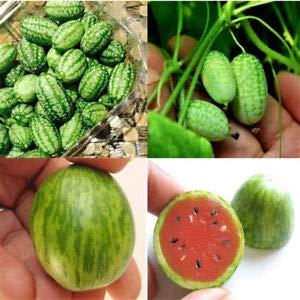 100 pcs graines de melon d'eau de doigt, mini-pastèque rare délicieux arbres fruitiers pour le jardin de la maison plantation sans ogm