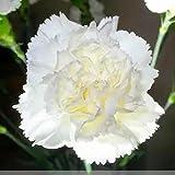 Fnho Raras Semillas de Hierba,Planta Maceta Semillas,Flor de Clavel con Solapa Pesada, balcón Interior en Maceta-White_100grain