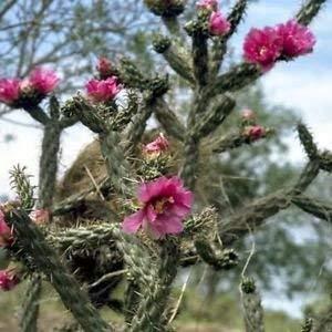 vegherb Cane Chollakaktus Seeds (Cylindropuntia Imbricata) 80 + Seeds