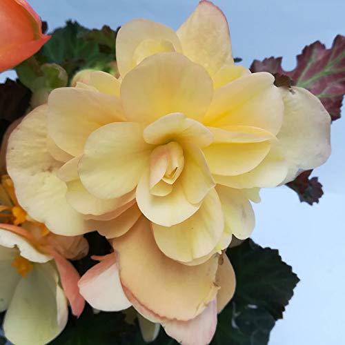 Pflanzen Kölle Begonie 'Peach', 6er-Set, apricot, Topf 13 cm Ø