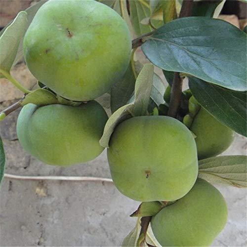 GETSO ! Big 50PCS Persimmon Plantes Exotiques Diospyros Bonsai délicieux Kaki Fruit des Arbres fruitiers Jardin Plante en Pot B79: 3